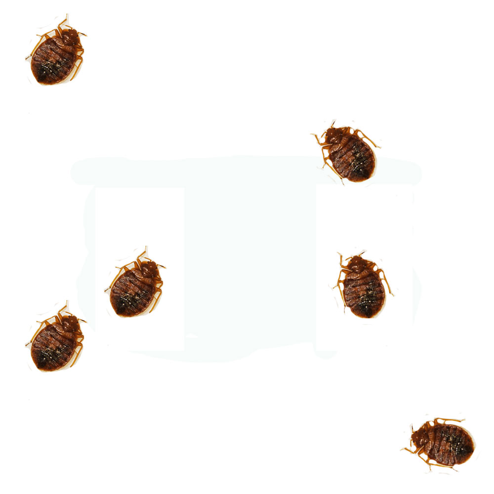 Bed Bug Look Like 28 Images What Does A Bed Bug Look